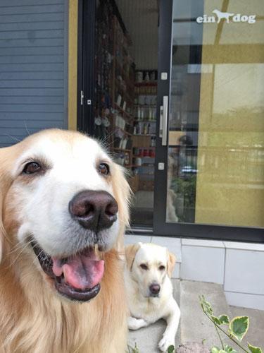 あいんどっく スタッフ犬 あすた ゴールデンレトリーバー すぅ ラブラドールレトリーバー