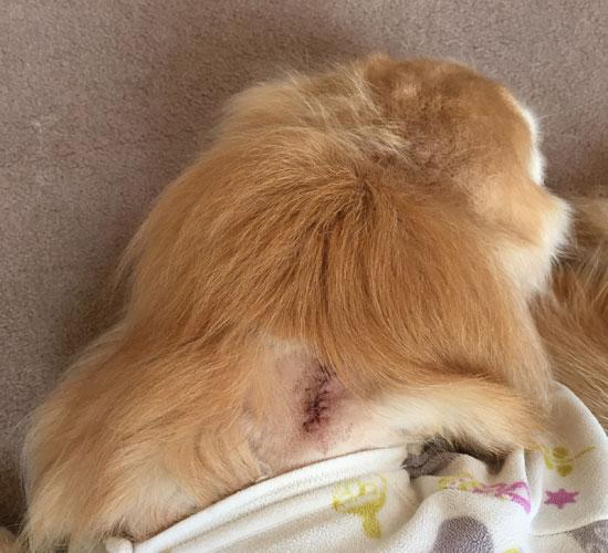 腫瘍切除 ゴールデンレトリーバー 首下傷